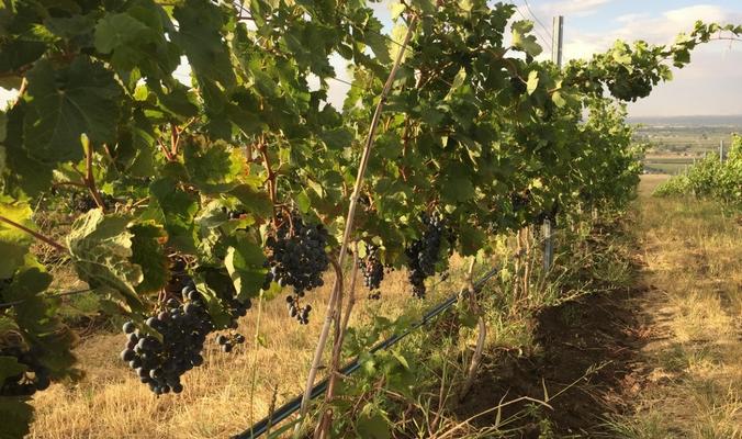 walla-walla-vineyard